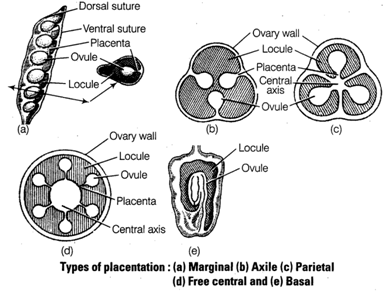 Free ncert solutions for 11th class biology anatomy of flowering basal placentation in this placentation the placenta develops at the base of ovary and asingle ovule is attached to it as in sunflower ccuart Choice Image