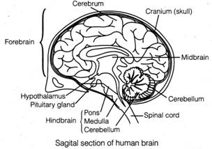 Free ncert solutions for 11th class biology neural control and a structure of brain the human brain is well protected by the skull the brain can be divided into three major parts forebrain midbrain and hindbrain ccuart Images