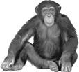 Monkey illustration, Ape Chimpanzee Monkey, Monkey free png | PNGFuel