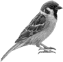 Image result for sparrow png