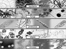 Image result for Micro-organisms Bacteria, Viruses, Algae, fungi