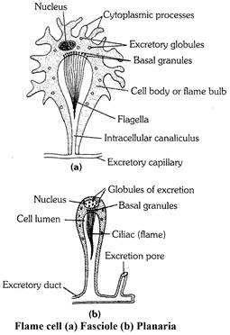 what are the other excretory organs