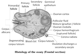 Jee main jee advanced cbse neet iit free study packages test 2 fallopian tubes uterine tubes oviducts each ovary is located in front of a funnel shaped opening of the uterus the oviduct ccuart Images