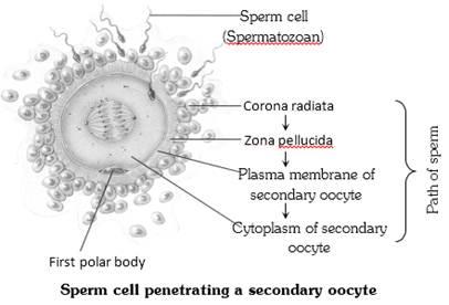 180 million sperm egg fertilization human foto 882