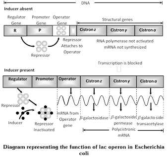 operator gene essay The promoter is where rna polymerase attaches to the gene it is located between the cap binding site and the operator rna polymerase is held from proceeding.
