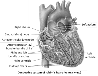Jee main jee advanced cbse neet iit free study packages test 2 atrio ventricular node or av node also called reserve pacemaker node of twara and aschoff discovered by lewis kent it lies in the right atrium ccuart Gallery