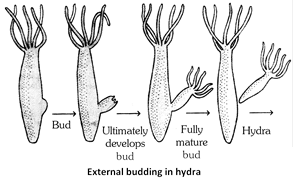 2 methods of asexual reproduction in hydra sports