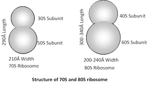 what is 70s and 80s ribosome