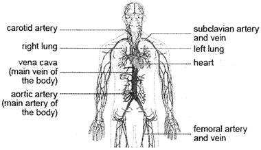 transport system in body